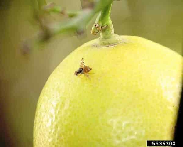 Ceratitis capitata Mediterranean Fruit Fly - Adult of Medfly on Lemon
