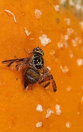 Ceratitis capitata Mediterranean Fruit Fly - Female of Medfly Laying Eggs Into A Papaya Fruit