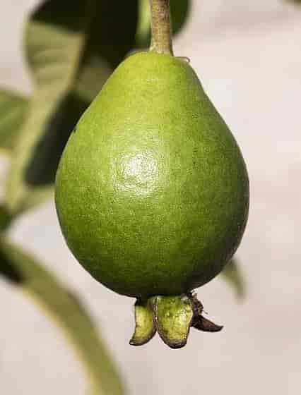 Pineapple Guava the Fruit of the Plant