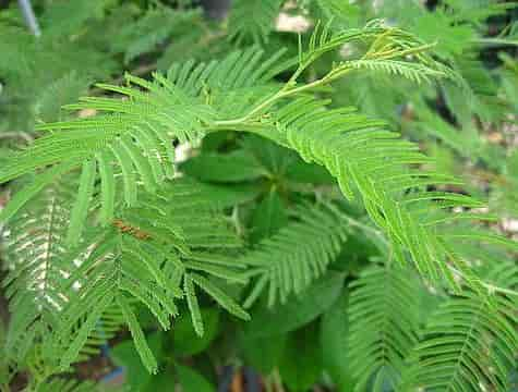 Silver Wattle, The Bipinnately Compound Leaves of the Tree