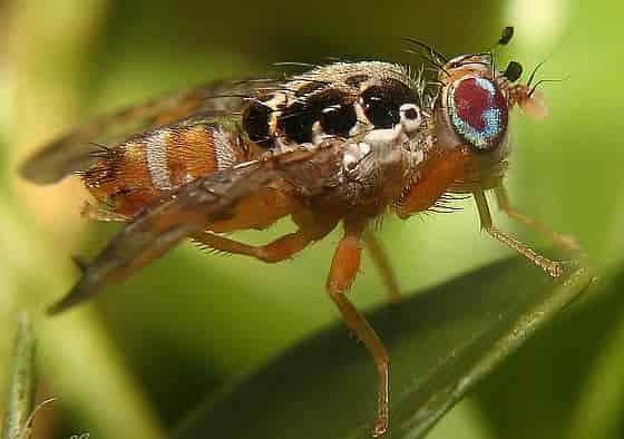 Ceratitis capitata Mediterranean Fruit Fly - Male Adult of Mediterranean Fruit Fly