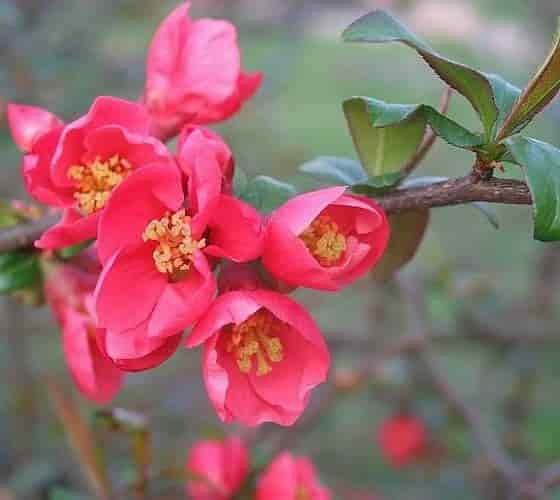 The Red Flowers of Flowering Quince with the Yellow Stamens