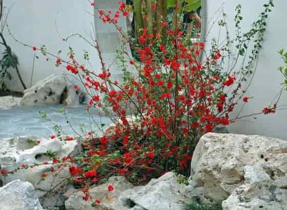 Flowering Quince Shrub Planted in Rock Garden