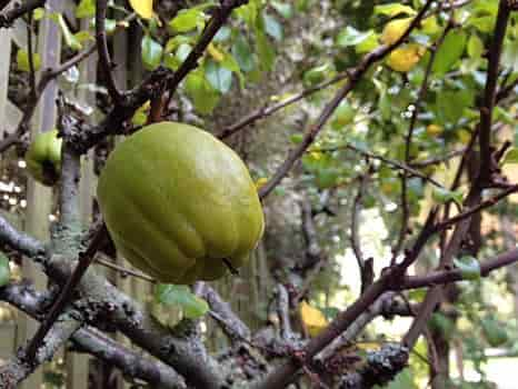 The Yellowish-Green Fruit of Flowering Quince - © chiwi