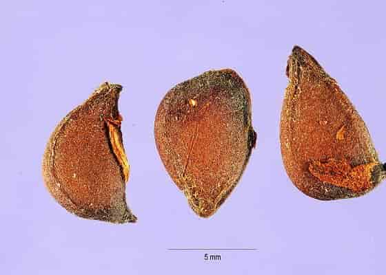 The Seeds of Flowering Quince (Chaenomeles speciosa) - Credit: Tracey Slotta, hosted by the USDA-NRCS PLANTS Database