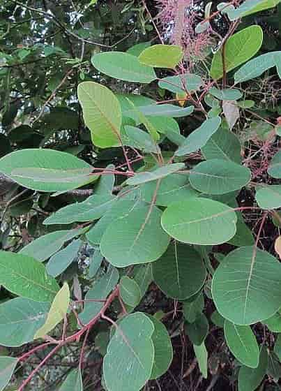 European Smoketree - The Leaves of Cotinus coggygria With a Section of the Flower