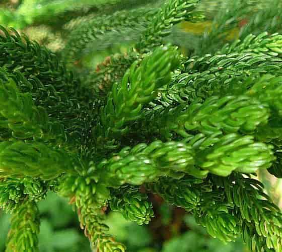 Norfolk Island Pine, Part of the Leaves of the Plant
