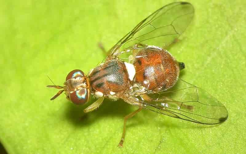 Olive Fruit Fly Adult (Bactrocera oleae)