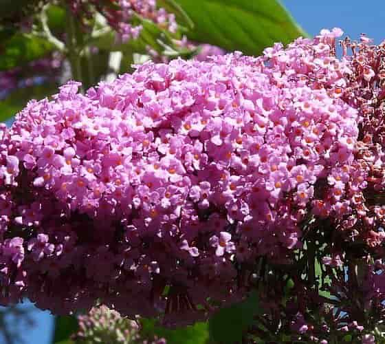 The Lilac-Pink Inflorescence of Βutterfly Βush