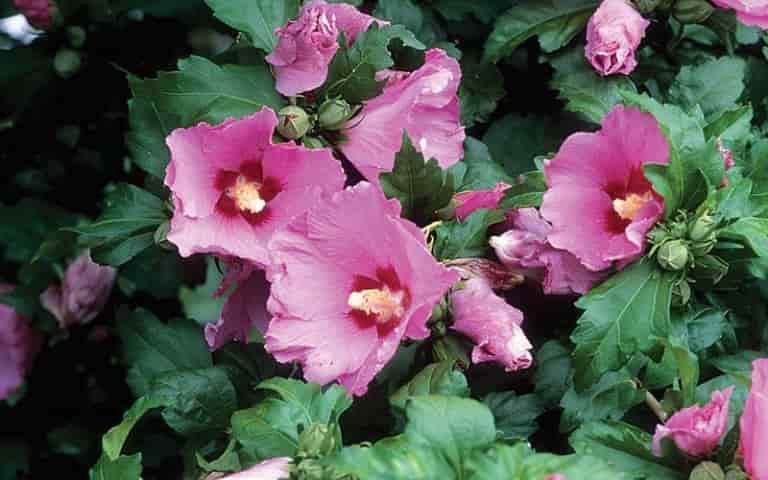 'Aphrodite' Rose of Sharon - 'Aphrodite' Rose of Sharon, the Pure Pink Flowers