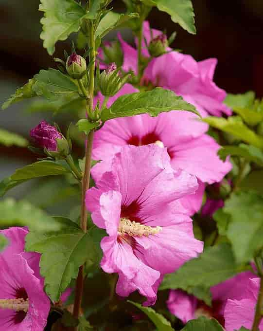 The Impressive Flowers and Leaves of Rose of Sharon Cultivar 'Aphrodite'