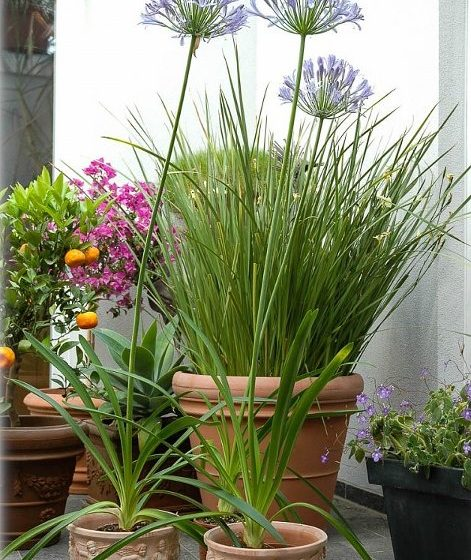 Lily of the Nile Flowering Plants in Pots