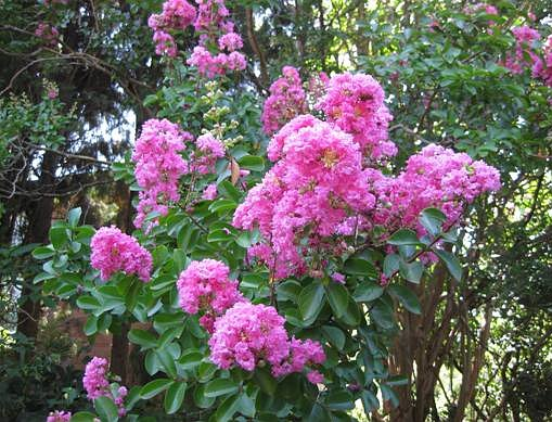 Crapemyrtle - Flowers and Leaves