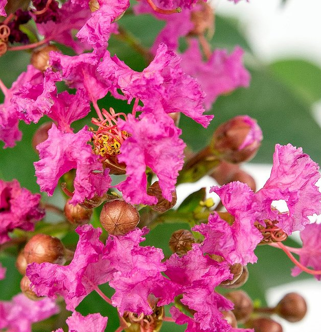 Crapemyrtle Planting - Open Flowers and Flower Buds