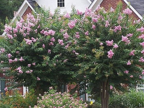 Crapemyrtle Planting - Small Trees Form