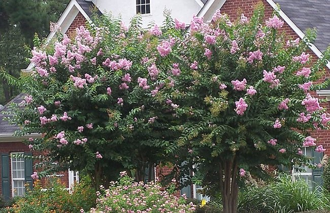 Small Trees Form of Lagerstroemia indica
