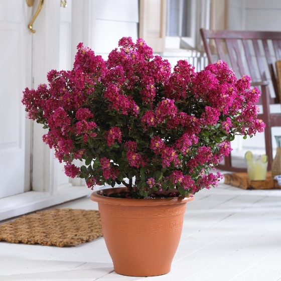 Crapemyrtle Planting in Pot
