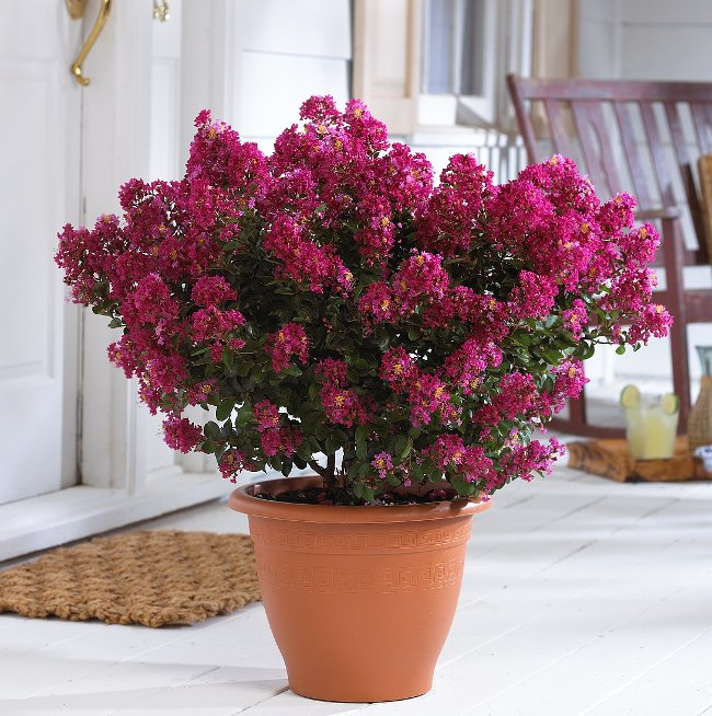 Lagerstroemia indica Plant in Pot
