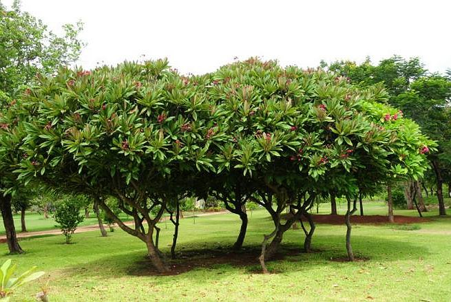 Group Planting Plumeria rubra Trees in the Lawn