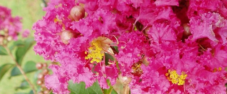 Crapemyrtle - The Pink Color Flowers
