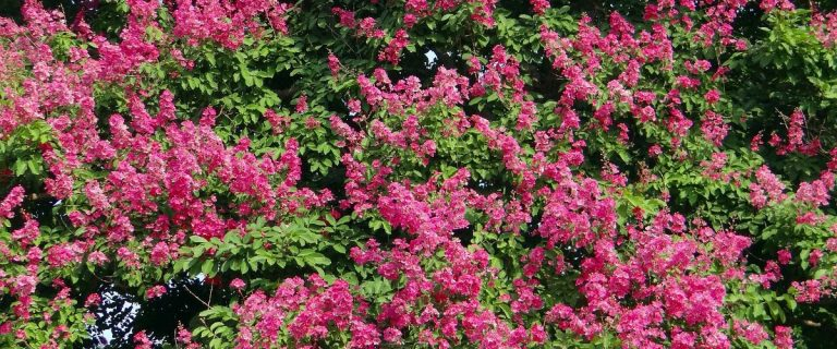 Crapemyrtle Planting - Blooming Shrubs