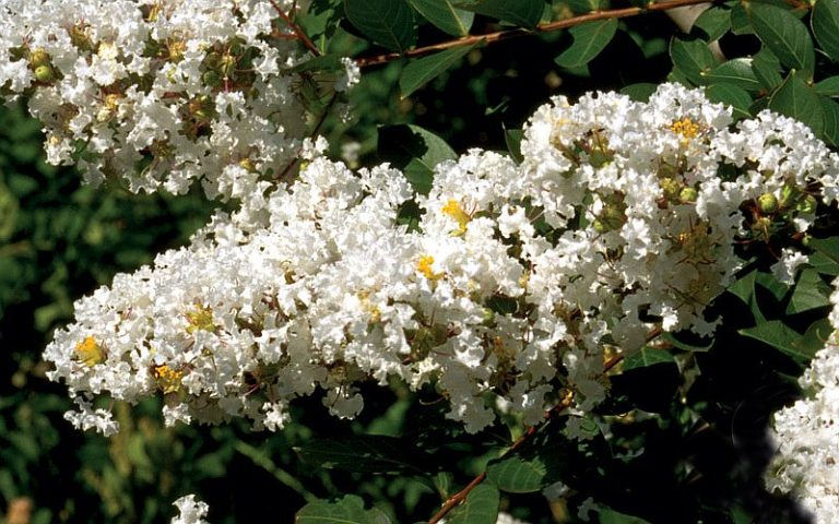 'Acoma' Crapemyrtle – Lagerstroemia indica x fauriei 'Acoma'