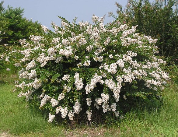 Blooming Shrub of the Lagerstroemia's Cultivar 'Acoma'