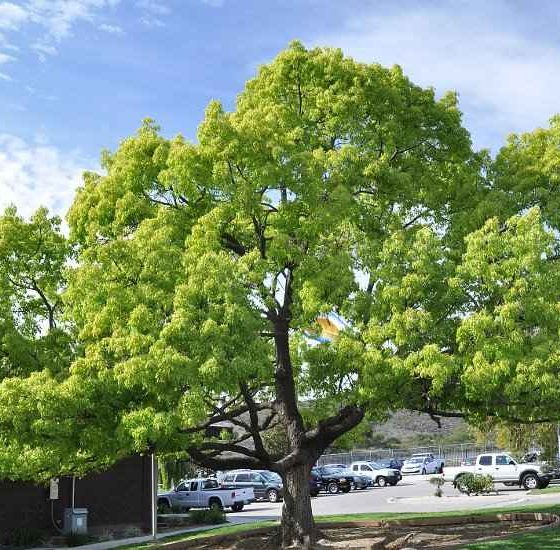 Camphor Tree - Great Growth Folliage