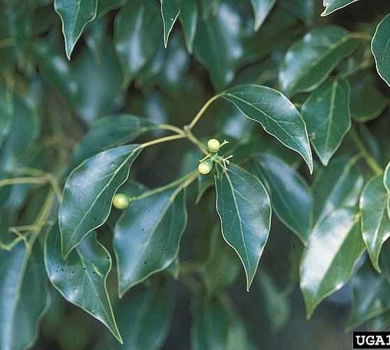 Camphor Tree - The Leaves and Inflorescences in the Beginning - © James H. Miller, USDA Forest Service, Bugwood.org