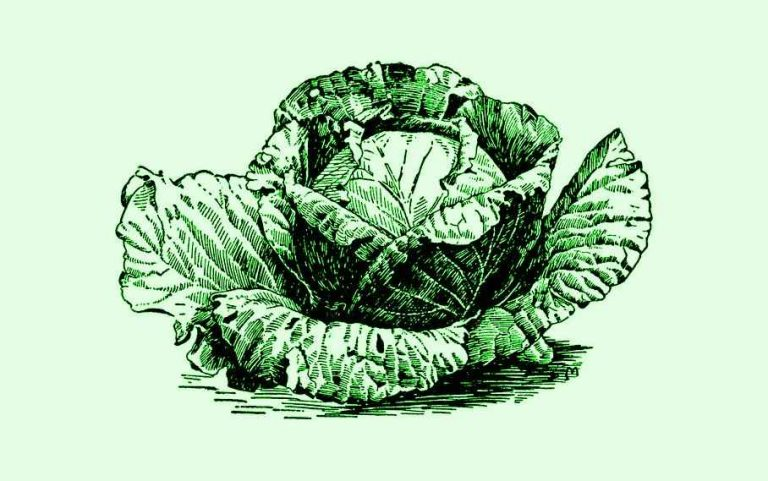 Headed Cabbage Climatic Requirements - Artistic Representation Of a Headed Cabbage Plant