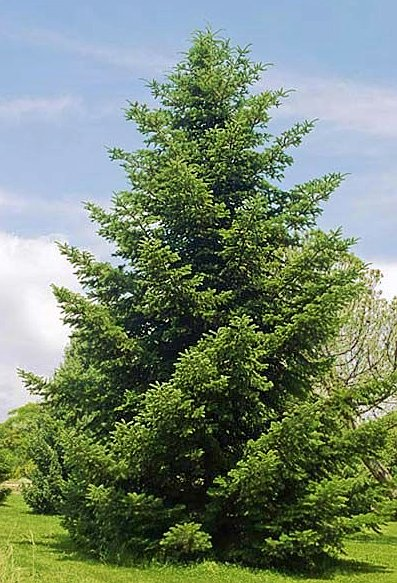 Greek Fir Young Tree Growing in a Park