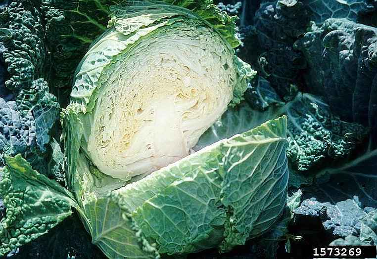 Headed Cabbage Origin Distribution Kalliergeia