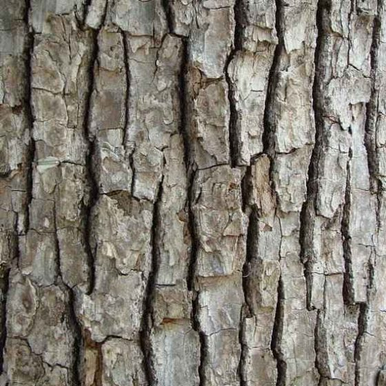 Camphor Tree - The Square Scaled Bark of the Trunk - © Rebekah D. Wallace, University of Georgia, Bugwood.org