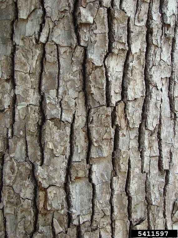 The Square Scaled Bark of the Trunk - © Rebekah D. Wallace, University of Georgia, Bugwood.org