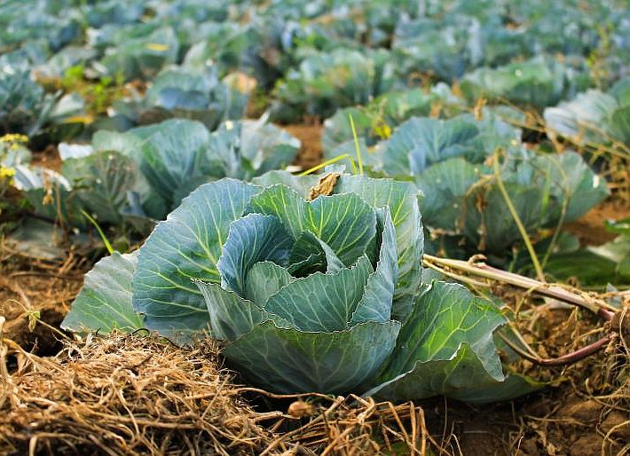 Headed Cabbage in the Field Where Straw Soil Covers