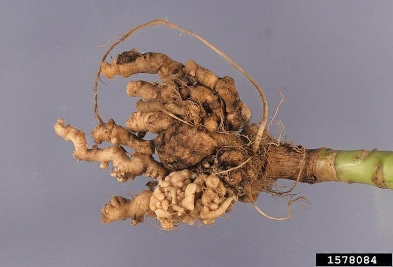 Club Root of Crucifers caused by the soil fungus Plasmodiophora brassicae - © Gerald Holmes, California Polytechnic State University at San Luis Obispo, Bugwood.org
