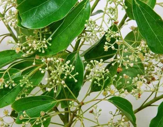 Camphor Tree - The Green Leaves and the Inflorescences