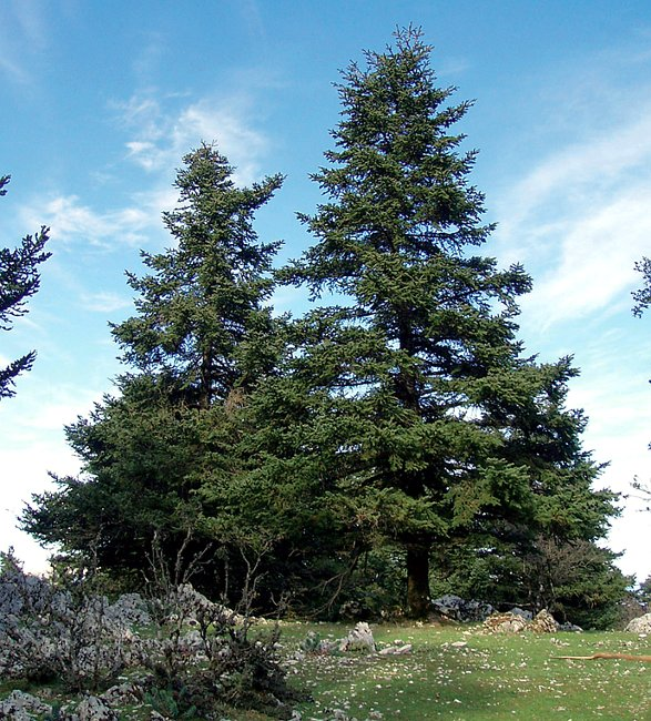 Greek Fir Trees in the Ainos National Park