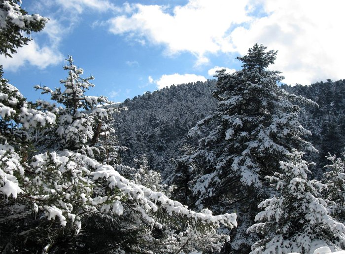 Snowy Trees of Abies cephalonica