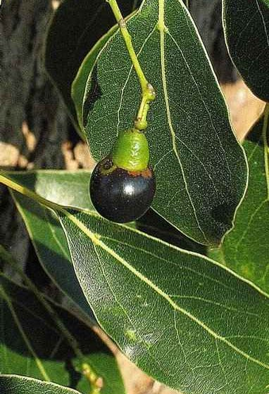 Camphor Tree - The Bluish Black Drupe Fruit - © James H. Miller, USDA Forest Service, Bugwood.org