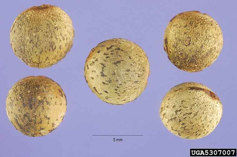 Camphor Tree - The Spherical Seeds of Cinnamomum camphora - © Steve Hurst, USDA NRCS PLANTS Database, Bugwood.org