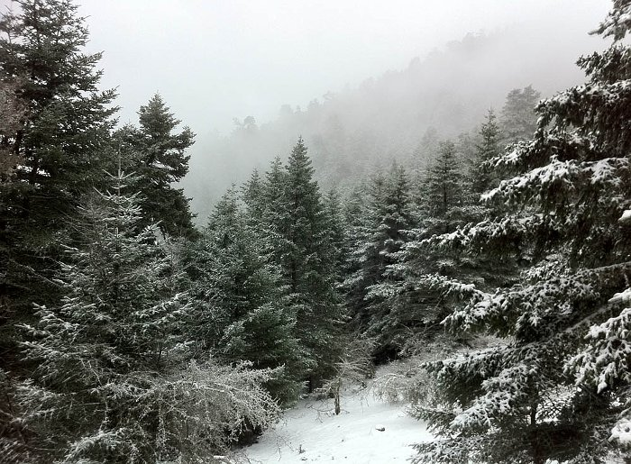 The Abies cephalonica Forest of Snowy Mount Ainos