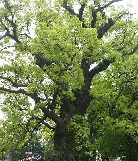 Camphor Tree - The Millenarian Kamou no Ohkusu, Japan