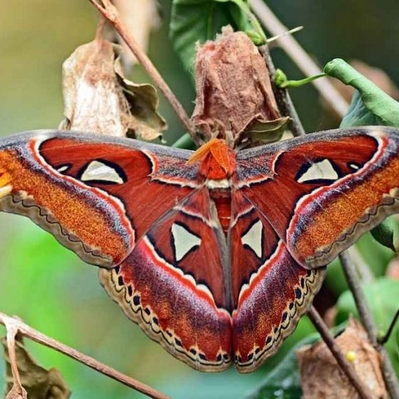 Camphor Tree - Attacus Atlas Butterfly