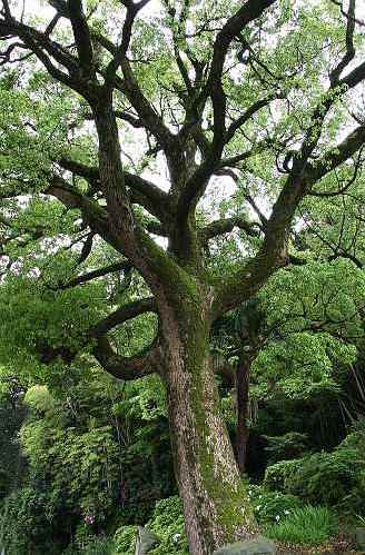 Camphor Tree - Native to Japanese Forest