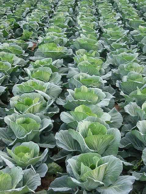 Propagation of Headed Cabbage - Cabbage in Dense Planting Arrangement, in the Field