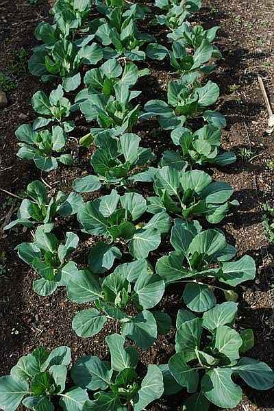Seeding Cabbage Methods - Cabbage Plants at an Early Growing Stage