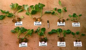 Seeding Cabbage Methods - Cabbage Seedlings At Different Stages of Development