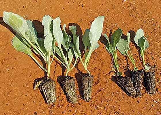 Seeding Cabbage Methods - Young Cabbage Seedlings Ready for Transplanting