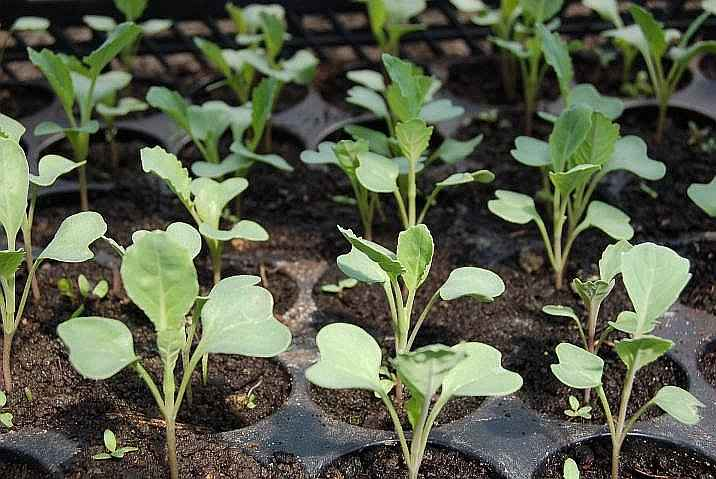 Seeding Cabbage Methods - Young Seedlings in Seed Trays